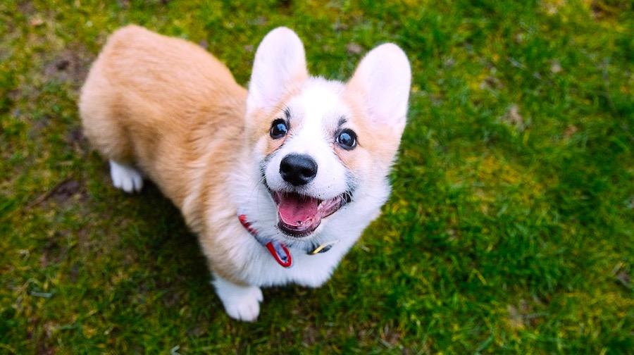 Cachorro de corgi